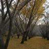 垂水 の千本イチョウ 黄色のじゅうたん